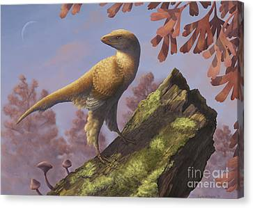 Eosinopteryx Brevipenna Perched Canvas Print by Emily Willoughby