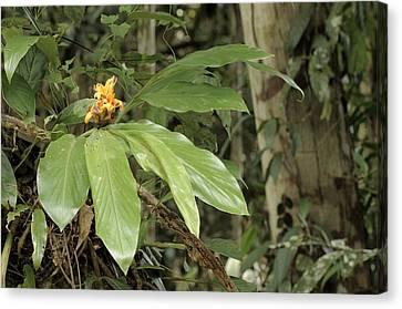 Epiphytic Ginger Hedychium Sp Canvas Print by Fletcher & Baylis