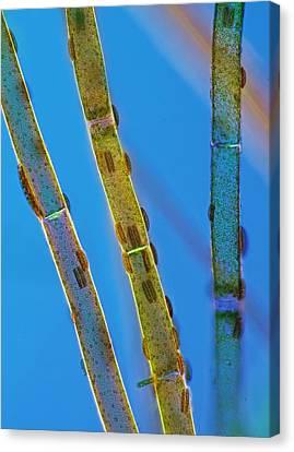 Epithemia Sp On Cladophora, Lm Canvas Print by Marek Mis