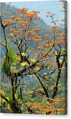Erythrina Poeppigiana Tree And Epiphytes Canvas Print by Bob Gibbons