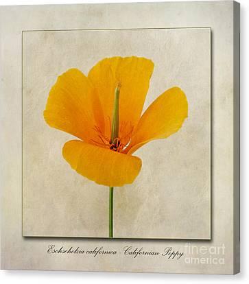 Eschscholzia Californica  Californian Poppy Canvas Print by John Edwards