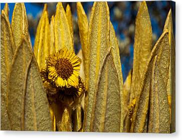 Ruiz Canvas Print - Espeletia Closeup by Jess Kraft