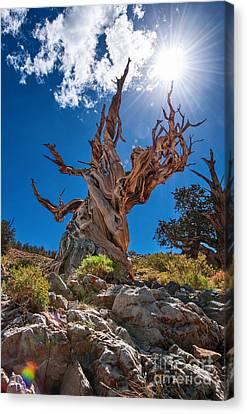 Eternity - Dramatic View Of The Ancient Bristlecone Pine Tree With Sun Burst. Canvas Print by Jamie Pham