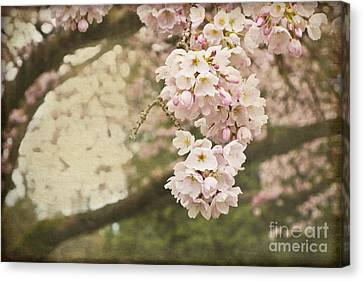 Ethereal Beauty Of Cherry Blossoms Canvas Print