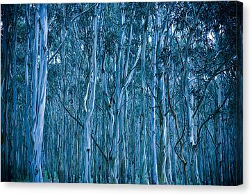 Eucalyptus Forest Canvas Print by Frank Tschakert