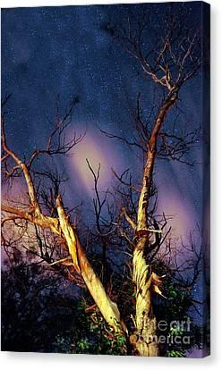 Eucalyptus Night Tree Canvas Print by Petros Yiannakas