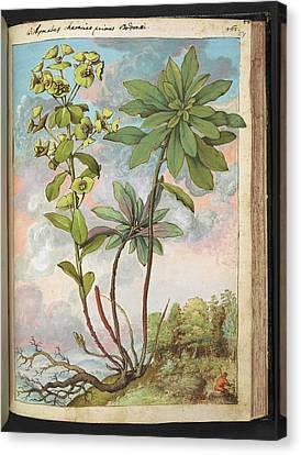 Euphorbia Characias Canvas Print by British Library