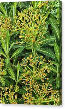 Euphorbia Stygiana Canvas Print by Geoff Kidd