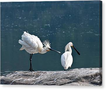 Bonding Canvas Print - Eurasian Spoonbill Courtship Display by K Jayaram