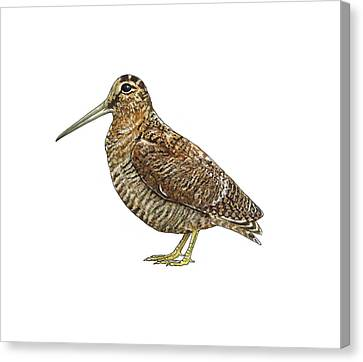 Eurasian Woodcock, Artwork Canvas Print by Science Photo Library