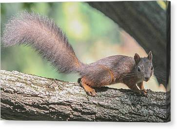 Canvas Print featuring the photograph Euroasian Red Squirrel - Sciurus Vulgaris by Jivko Nakev
