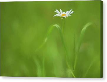 Europe, Ireland Daisy And Leaves Credit Canvas Print
