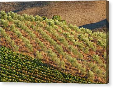 Europe, Italy, Tuscany, Vineyard Canvas Print by Terry Eggers