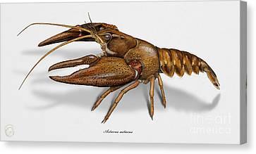 European Crayfish Astacus Astacus - Flusskrebs - Ecrevisse A Pattes Rouges - Jokirapu Canvas Print