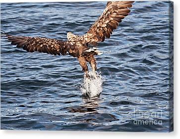 European Fishing Sea Eagle 2 Canvas Print by Heiko Koehrer-Wagner