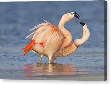 European Flamingo Pair Courting Canvas Print by Ronald Kamphius