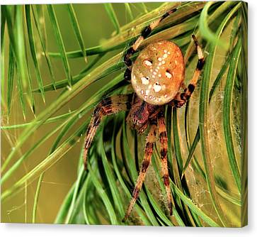 European Garden Spider Canvas Print