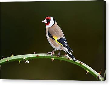 European Goldfinch Canvas Print by Colin Varndell