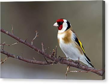 European Goldfinch  Canvas Print by Torbjorn Swenelius