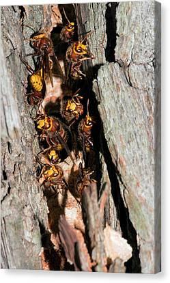 European Hornets Guarding Nest Canvas Print