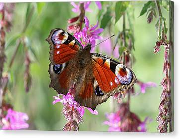 Canvas Print featuring the photograph European Peacock Butterfly - Nymphalis Io by Jivko Nakev