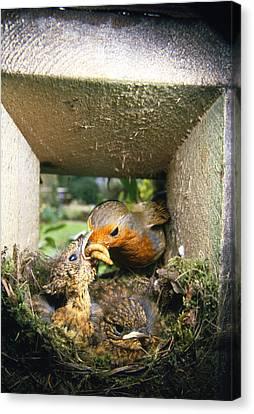 European Robin And Chicks Canvas Print by John Daniels