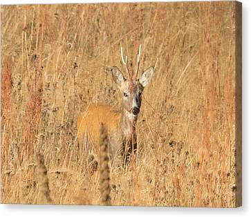 European Roe Deer Canvas Print by Jivko Nakev