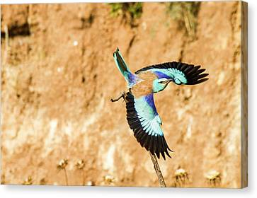 European Roller (coracias Garrulus) Canvas Print by Photostock-israel