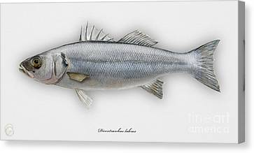 European Seabass Dicentrarchus Labrax - Bar Commun - Loup De Mer - Lubina - Havabor - Seafood Art Canvas Print