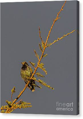 European Starling Canvas Print