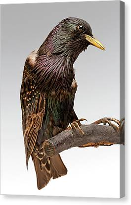 European Starling Canvas Print by Ucl, Grant Museum Of Zoology