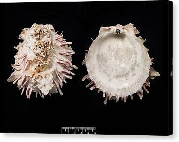 European Thorny Oyster Canvas Print by Natural History Museum, London