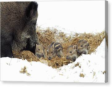 European Wild Sow With Piglets Canvas Print by Duncan Usher