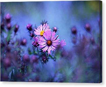 Aster Canvas Print - Evening Asters by Jessica Jenney