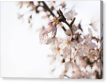 Close Focus Floral Canvas Print - Evening Cherry Blossom by Anne Gilbert