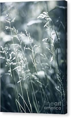 Evening Grass Flowering Canvas Print