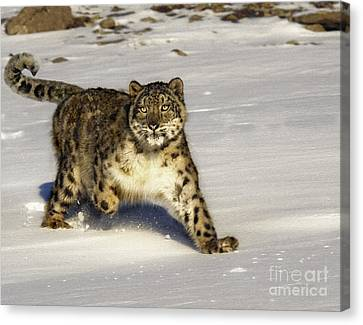 Evening Prowl Canvas Print by Wildlife Fine Art
