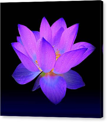 Evening Purple Lotus  Canvas Print