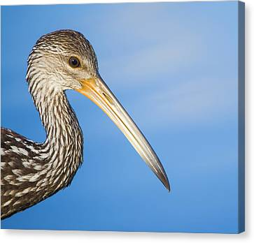 Everglades Limpkin Canvas Print by Mark Andrew Thomas