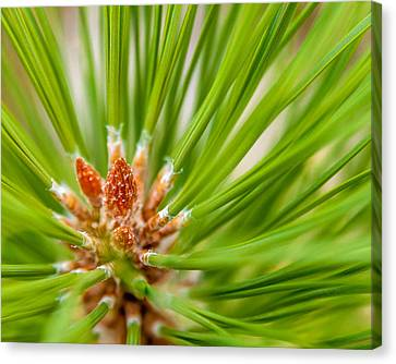 Evergreen 001 Canvas Print by Todd Soderstrom