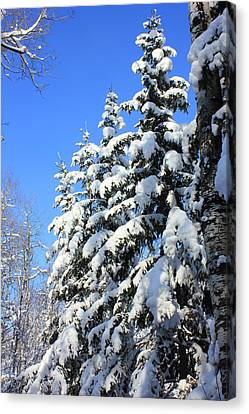 Evergreen Trees In Winter Canvas Print