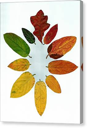 Evolution Of Autumn Wh Canvas Print by Pete Trenholm