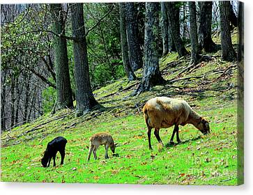 Ewe And Spring Lambs Grazing Canvas Print by Thomas R Fletcher
