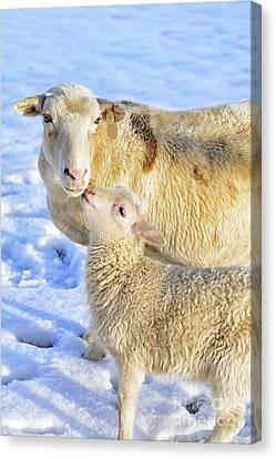 Ewe And Winter Lamb Canvas Print by Thomas R Fletcher