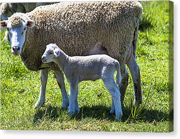 Ewe With Her Lamb Canvas Print