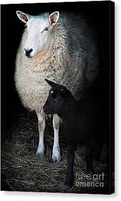 Ewe With Newborn Lamb Canvas Print