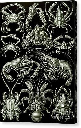 Examples Of Decapoda Kunstformen Der Natur Canvas Print by Ernst Haeckel