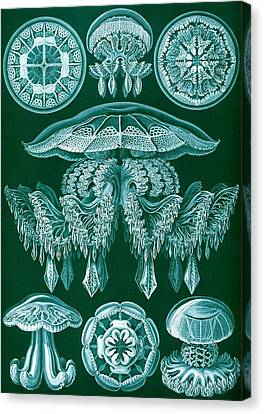Tentacles Canvas Print - Examples Of Discomedusae by Ernst Haeckel
