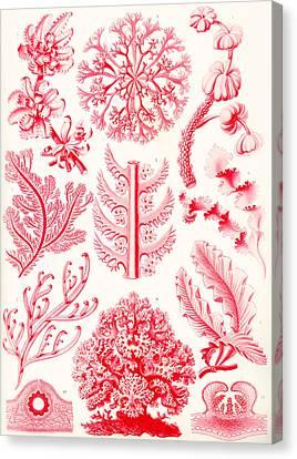 Examples Of Florideae From Kunstformen Der Natur Canvas Print