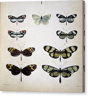 Examples Of Mimicry Among Butterflies Canvas Print by Science Photo Library